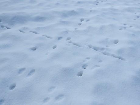 ウサギタヌキ足跡キョロロ20191213DSCN3241