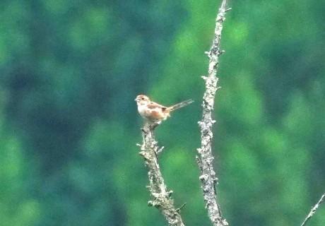 DSC01283モズ若鳥20190824緑川探鳥会