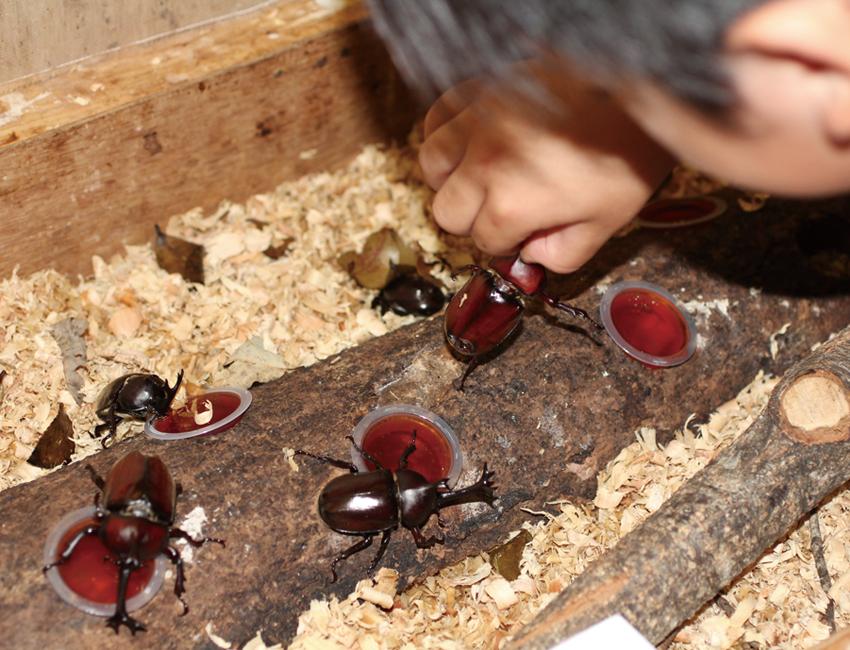 生きたカブトムシを観察し放題のクワカブルーム(夏季)